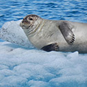 One of the many seals at Jokulsarlon
